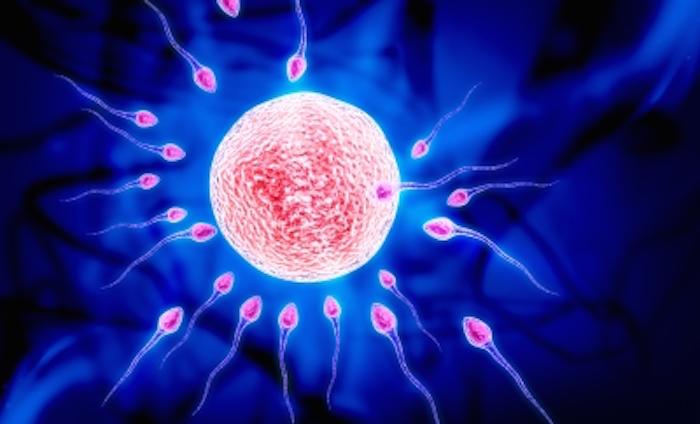 Spermatozoïdes et ovule